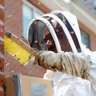 NYPD beekeeper Anthony Planakis trying to remove bees from b