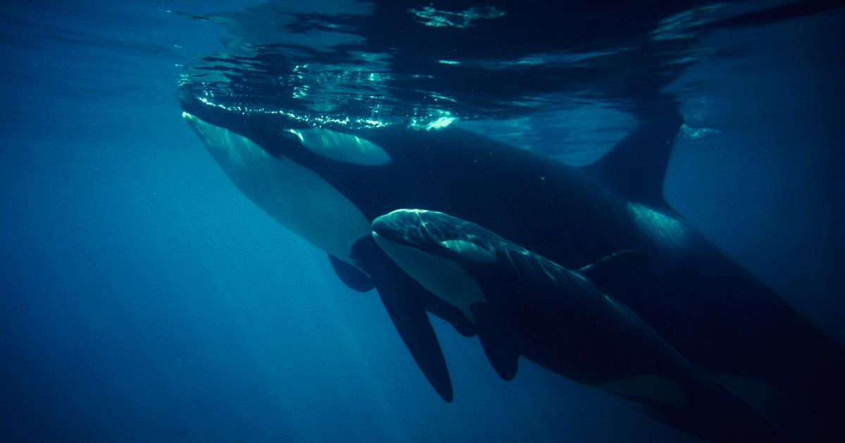 I Am So Happy for This Orca Family