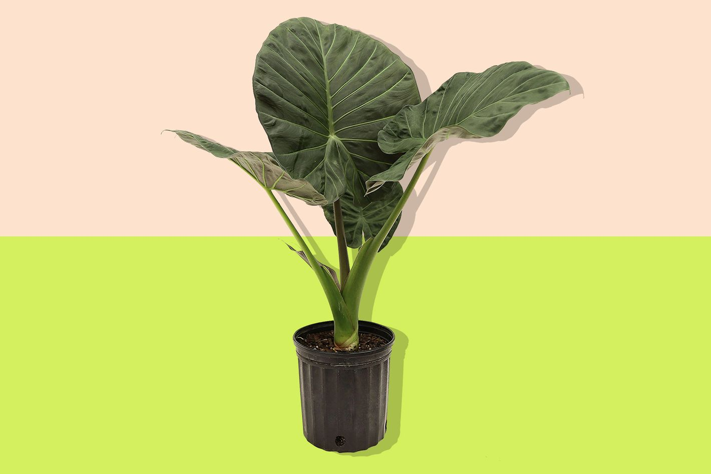 Elephant Ears Plant from Costa Farms