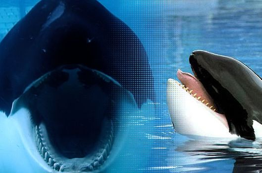 Blackfishs director on free willy sea world vulture photo magnolia pictures and warner bros voltagebd Gallery
