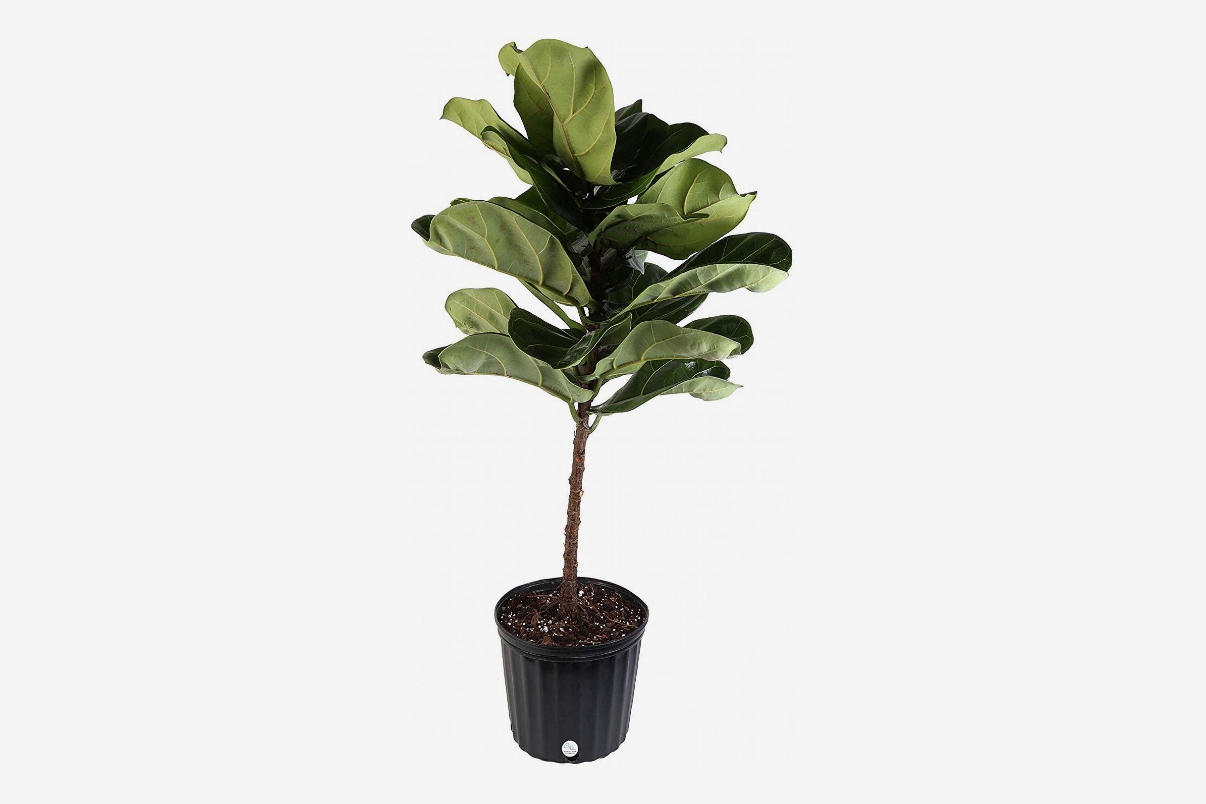 Costa Farms Fiddle-Leaf Fig Tree in Grower's Pot, 4-Feet Tall