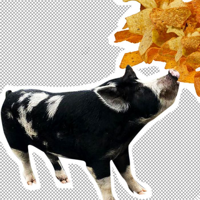 Pig, Doritos.