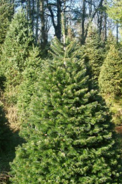 Shady Rest Tree Farm 3.5 - 4 feet Nordmann Fir
