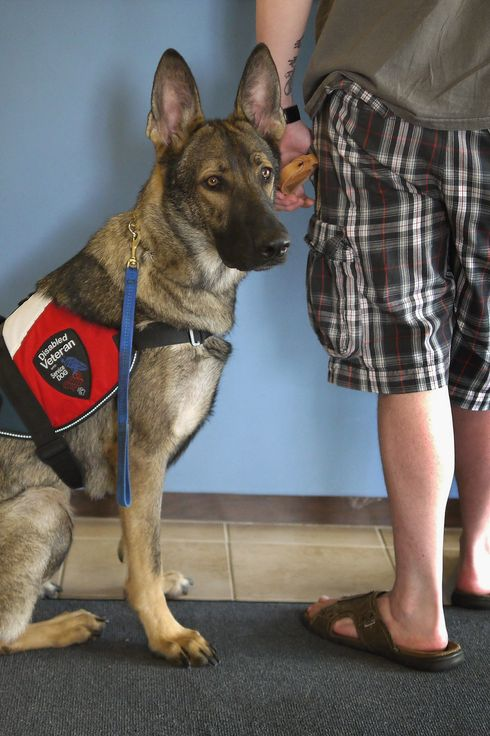 PALOS HILLS, IL - MAY 03:  Army veteran Brad Schwarz brings his service dog Panzer for a check up at Southwest Animal Care Center May 3, 2012 in Palos Hills, Illinois. Schwarz uses a service dog to help him cope with post-traumatic stress disorder (PTSD) related to his 2008 tour in Iraq. In addition to suffering from PTSD, Schwarz has memory loss related to Traumatic Brain Injury (TBI) and he must walk with a cane because of vertebrae and nerve damage in his back and legs. Ten days before he was scheduled to rotate home from a 15-month deployment in Iraq, his second, the Humvee in which he was riding was struck by an Improvised Explosive Device (IED). Of the 5 soldiers riding in the vehicle, which caught fire after the explosion, Shwarz was the only one to survive.   (Photo by Scott Olson/Getty Images)
