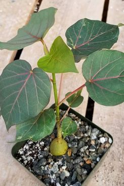 Rock Fig