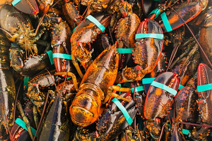 "Maine's lobsters are ""likely"" threatened."