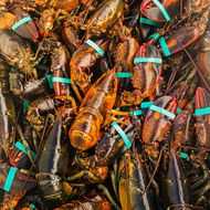 Climate Change Is Decimating Maine's Lobster Population