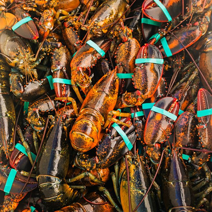Maine's lobsters are