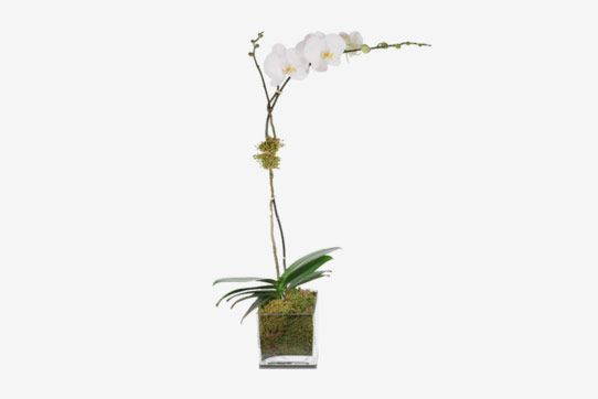 H. Bloom White Single Stem Orchid Plant