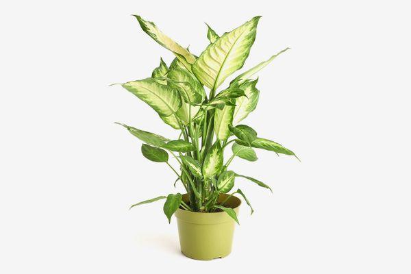 Shop Succulents Dumb Cane 'Dieffenbachia Camille' Houseplant
