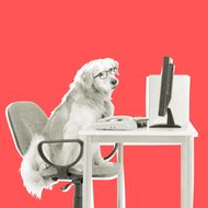Golden Retriever Working at Desk.
