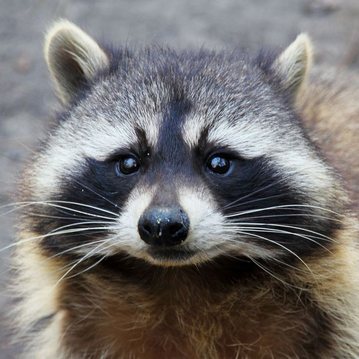 A raccoon.
