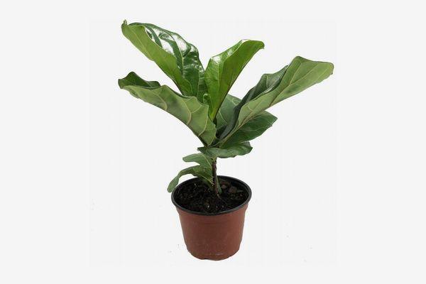 """Hirt's Fiddle-Leaf Fig Tree, 6"""" Pot"""