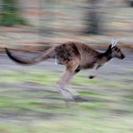 "Red kangaroo ""Hagen"" jumps through his e"