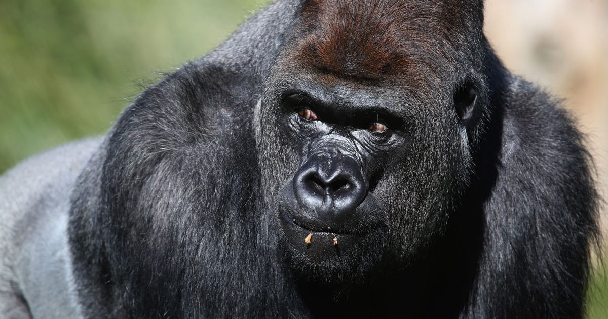 London Zoo Gorilla Escapes Enclosure, Isn't Murdered