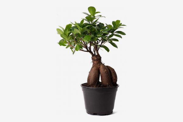 AMERICAN PLANT EXCHANGE Ficus Ginseng