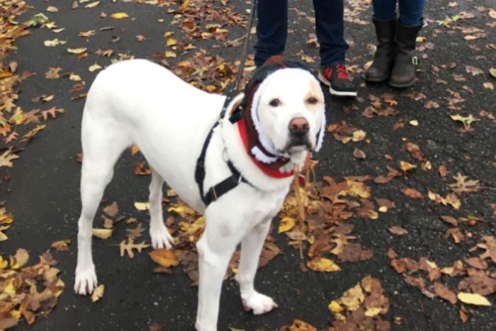 A white Labrador named Fritz dressed as an aviator.