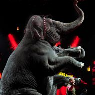 Final Elephant Act for the RBBB Circus