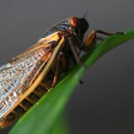 A cicada appears in Fairfax Station, Virginia, U.S., on Friday, May 17, 2013. After 17 years of living underground, millions of cicadas are emerging on the U.S. East Coast. Members of brood 2 have not been seen in the region since 1996 and will be omnipresent for a few weeks - just long enough to breed and die.