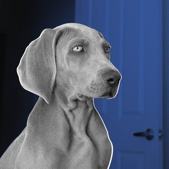 New Mexico, USA --- A Weimaraner puppy in a room with an open doorway in the background. --- Image by ? Norah Levine/Mint Images/Corbis