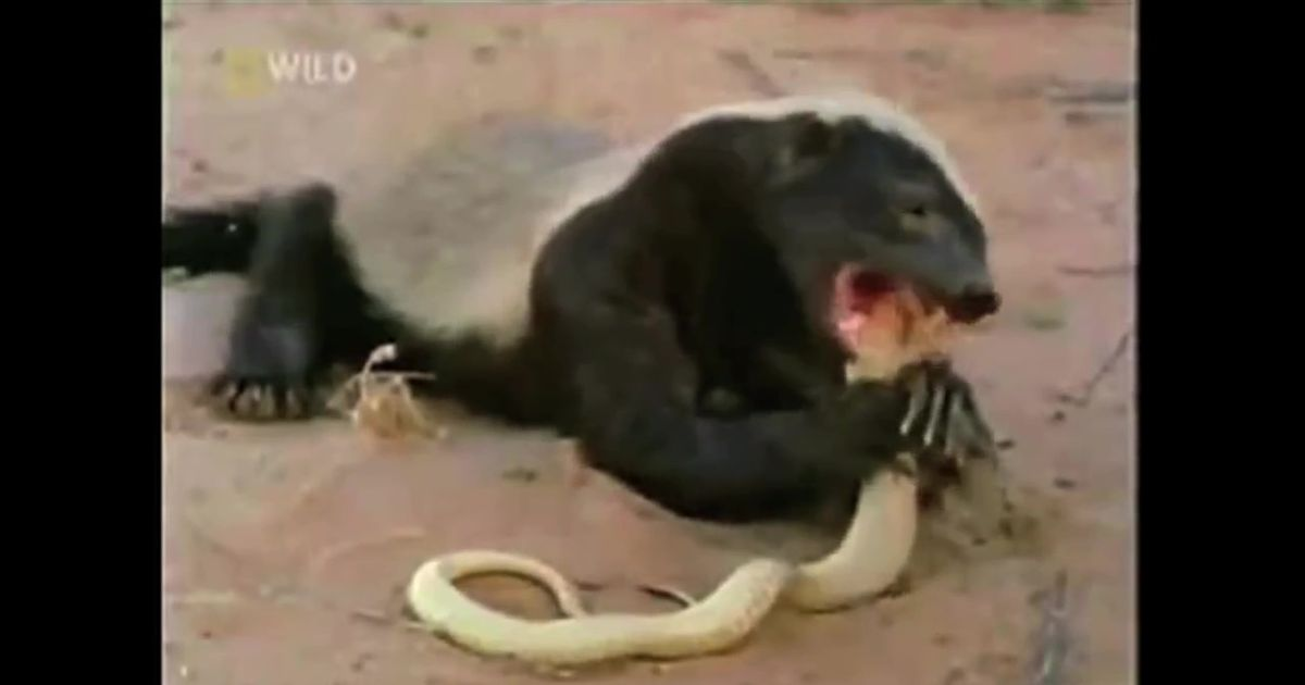 Creator Of Honey Badger Video Sues Makers Of Honey Badger Greeting Card