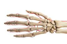 Human hand arteries, illustration