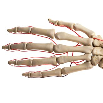 Human hand arteries, illustration