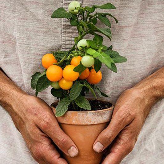 Baker Creek Heirloom Seeds Orange Hat Tomato