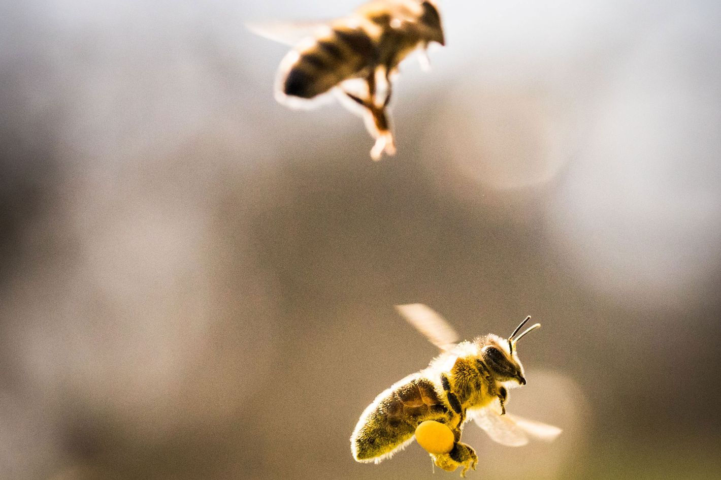 Bee Pollen Does It Have Any Benefits And How To Take It