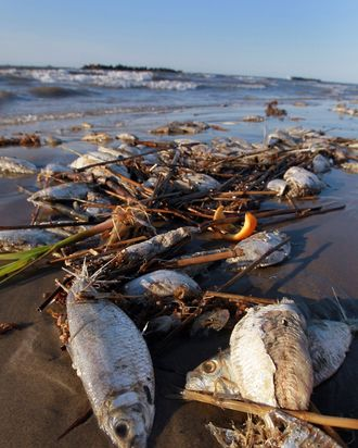 Dead fish are seen on the beach on May 10, 2010 in Lafourche Parish, Louisiana.