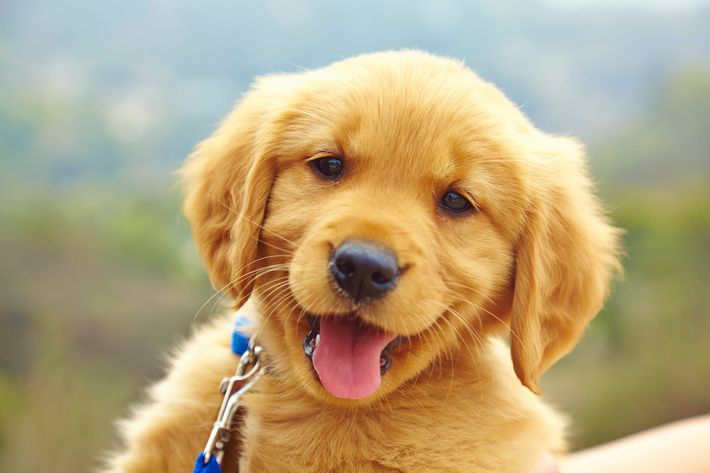 Study assesses if dogs listen to 'puppy-talk'