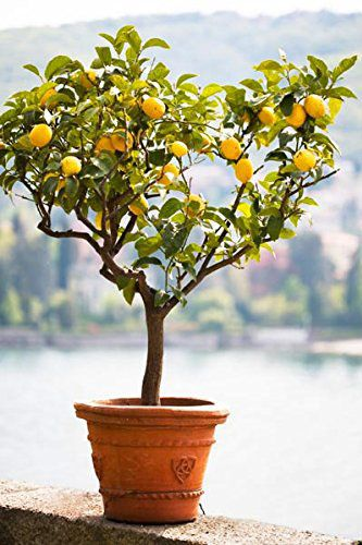 Brighter Blooms Improved Meyer Lemon Tree, Up to 4 Feet Tall