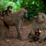 Olive Baboon Mothers and Infants