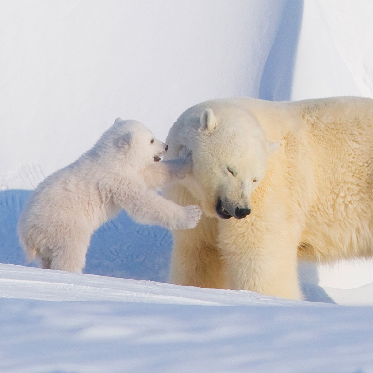 Climate Crisis May Wipe Out Polar Bears by 2100, Study Says