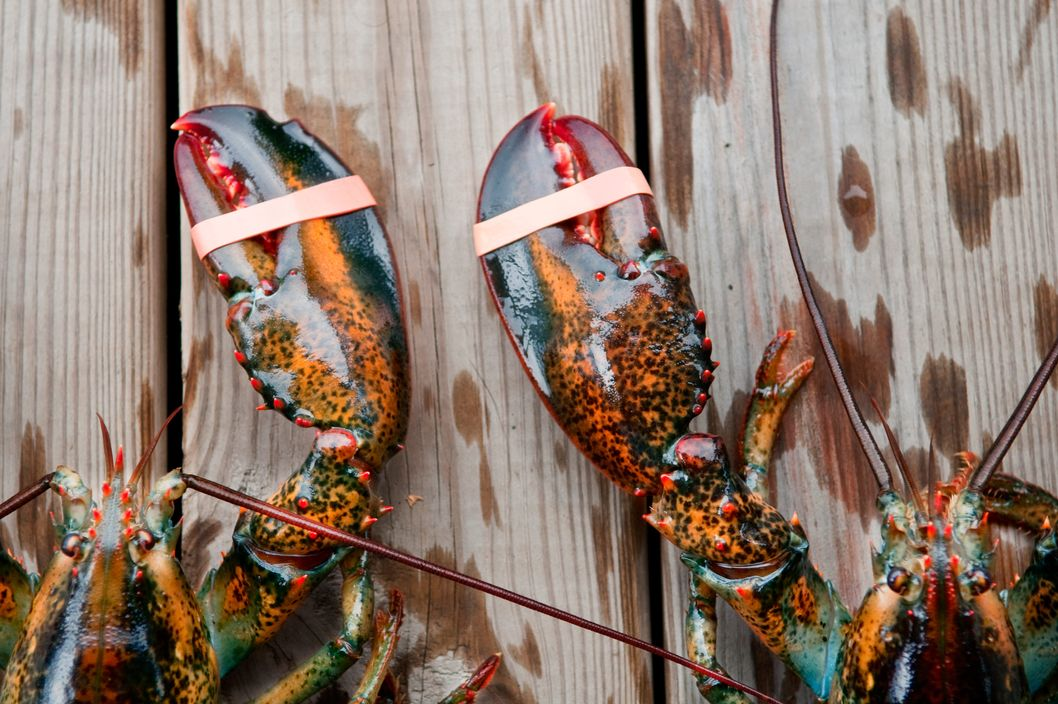 Two lobsters await their future in Acadia National Park, Maine.