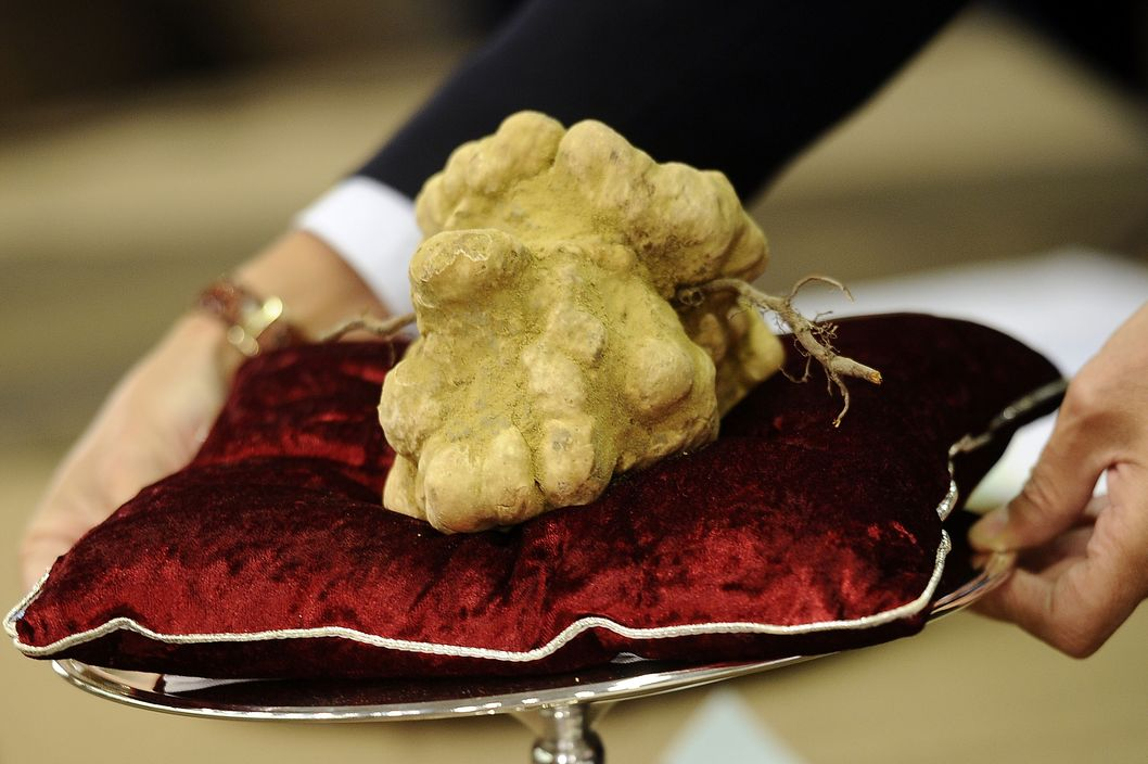 "An official displays a 900 grams white truffle with the mother (roots) wich was auctionned for 105-milion-euro on November 14, 2010 during the traditionnal annual truffle auction sale in Alba, northern Italy. The Piemonte region, where Alba is located, is considered to have the best ""tartufo bianco"" (white truffles) in the world."
