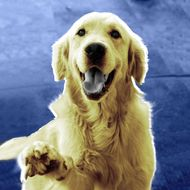 Friendly golden retriever