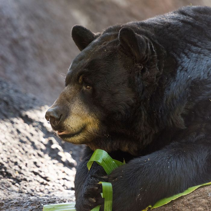 Black bear in Yosemite National Park.