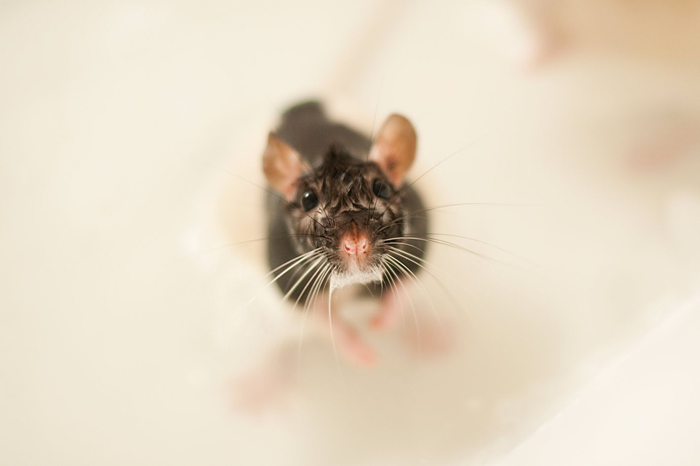 Viral shower rat washing himself with soap was likely staged biocorpaavc Image collections