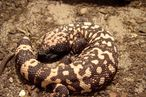 More Teens Have Type 2 Diabetes; Gila Monsters Are the Answer
