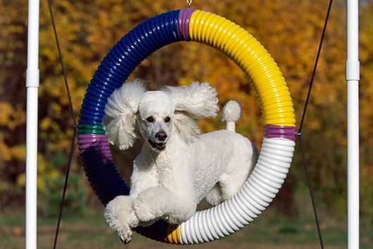 Standard Poodle (Canis familiaris) jumping through hoop