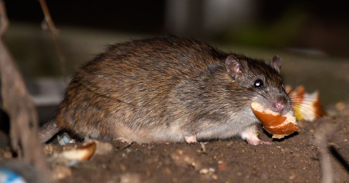 a27ad90e2af 63 Percent of NYC's Restaurants Have Had Rodent Infestations