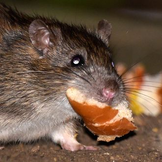 5f8d5195227 63 Percent of New York Restaurants Have Been Cited for Rodent Infestations