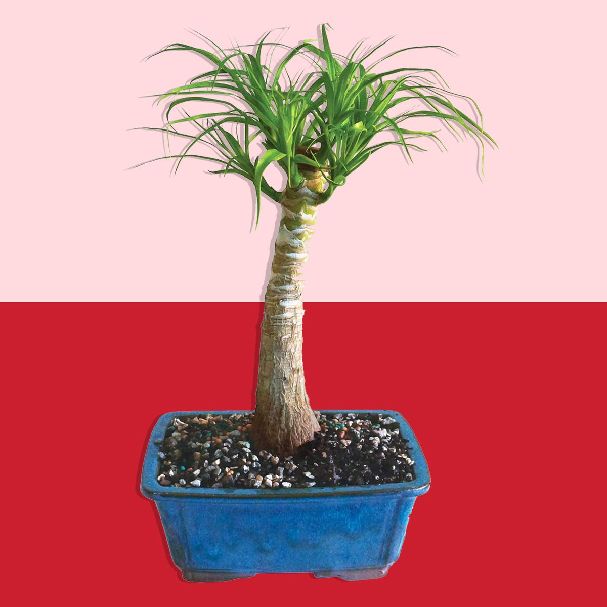 Brussel S Live Pony Tail Palm Indoor Bonsai Tree Sale Amazon The Strategist New York Magazine