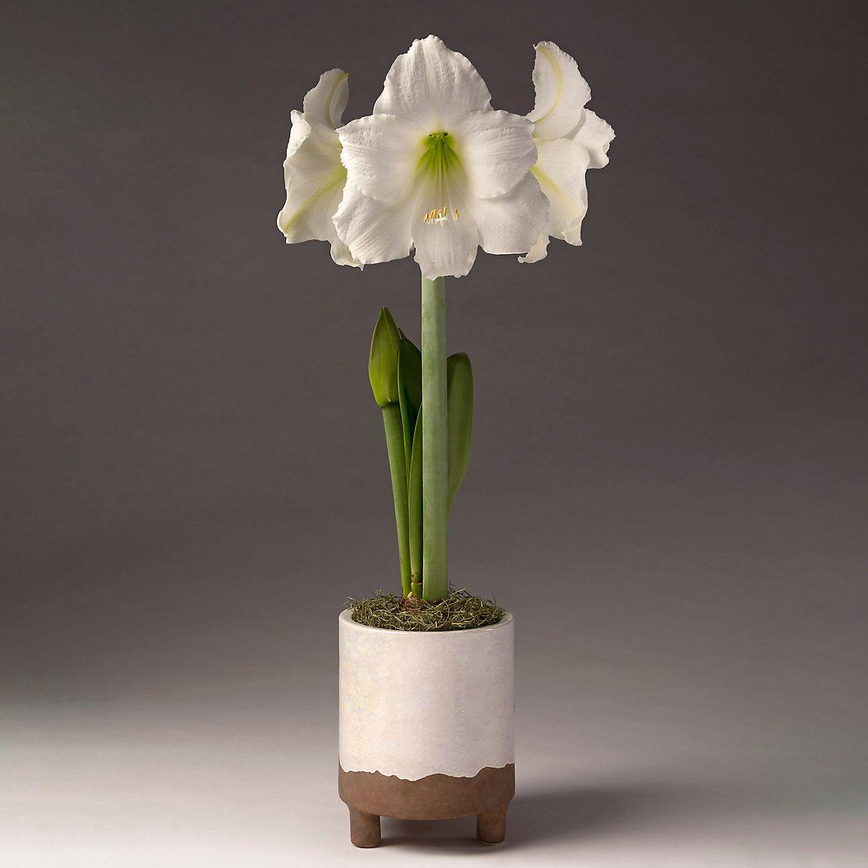 White Amaryllis, Footed Pot