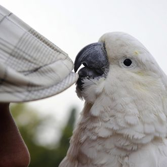 A cockatoo and his owner wait for clients to have their photo taken with the bird during an fair in the Serbian city Smederevo, 40 km east of Belgrade, on September 13, 2009. AFP PHOTO / ANDREJ ISAKOVIC (Photo credit should read ANDREJ ISAKOVIC/AFP/Getty Images)
