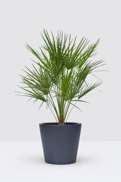 Mediterranean Dwarf Palm