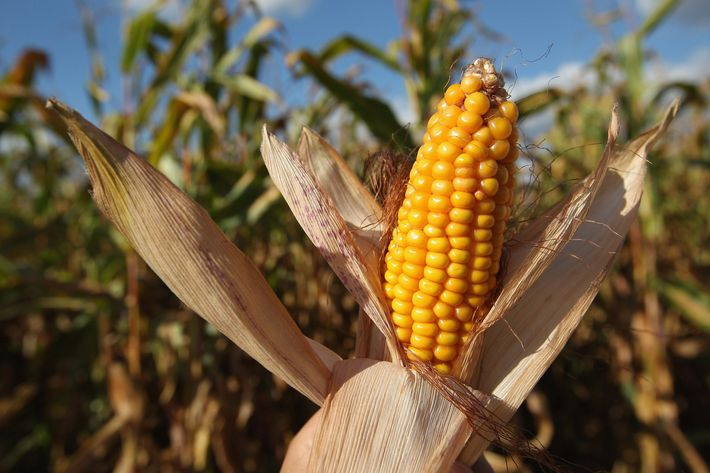 03 corn.w710.h473 why is everyone on twitter suddenly talking about corncobs?