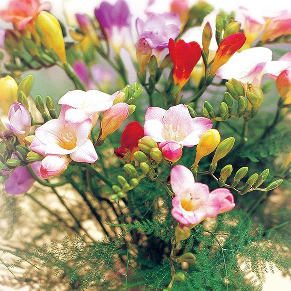 20 Mixed Guernsey Freesias Bouquet Comes