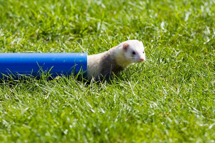 GREAT BRITAIN - AUGUST 27:  Ferret crawls through pipe at ferret racing event, Oxfordshire, United Kingdom.  (Photo by Tim Graham/Getty Images)